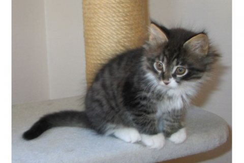 صور Maine Coon Kittens For sale. 1
