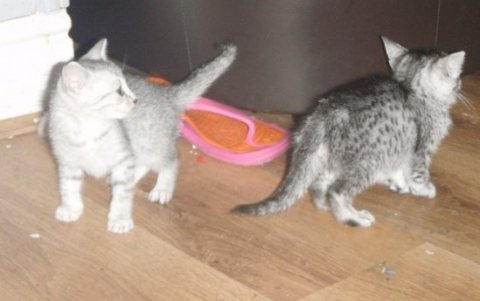 صور  Egyptian Mau Kittens for sale. 1