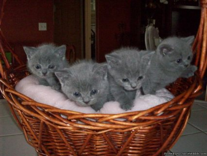Amazing British shorthair kittens Up For Sale.
