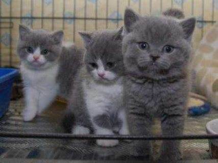 British shorthair kittens Stud AKC For Sale.