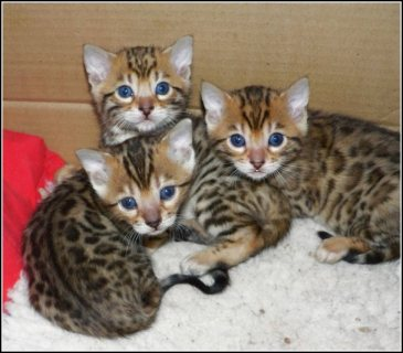 Super adorable AKC Bengal kittens For Sale.