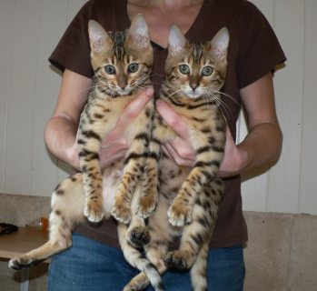Fancy Bengal kittens Available For Sale.