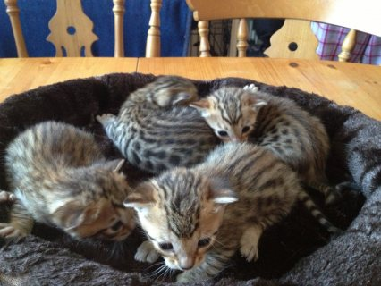 صور Amazing Bengal kittens Up For Sale.  1