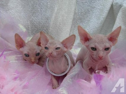 Gorgeous sphynx kittens For Sale.