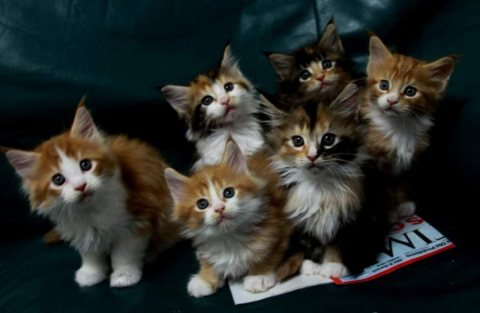 Well Trained maine coon kittens For Sale.