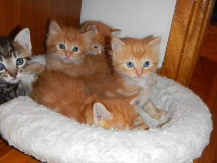 Cute and Charming maine coon For Sale
