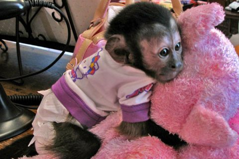 Beautiful baby capuchin monkeys Available For Sale