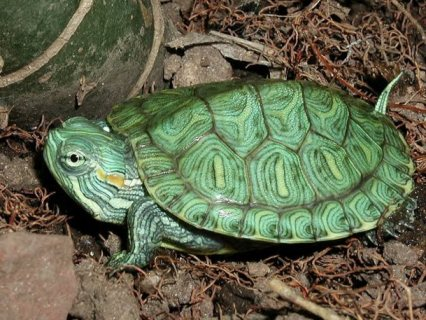Outstanding tortoises For Sale.