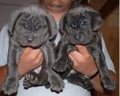 Sweet looking Neapolitan Mastiff puppies available for sale.