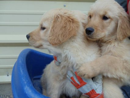 صور Golden Retriever Puppies for sale . 1