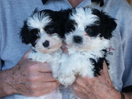 Havanese Puppies for good home.(for sale)