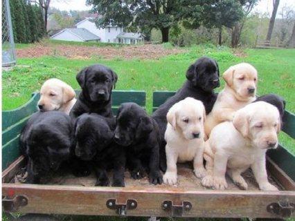Yellow and black Male and female Labrador Retriever Puppies read