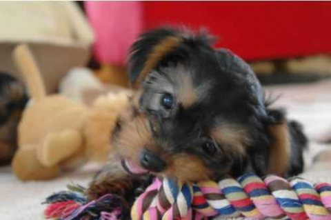 We have teacup Yorkie puppies for sale...//././..