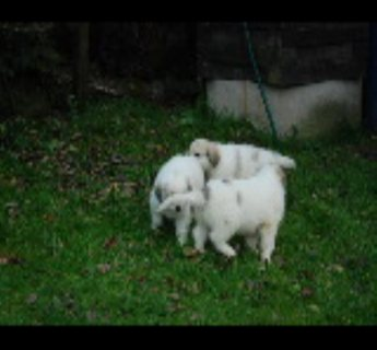 Great Pyrenees puppies from new litter now available.