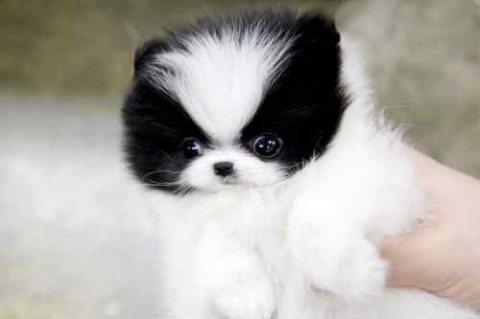 Priceless White Pomeranian Puppy For Adoption