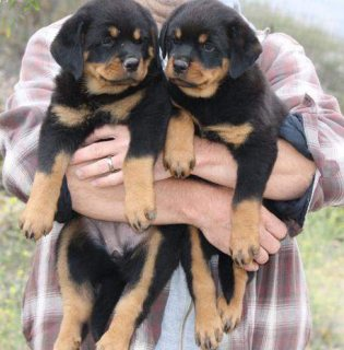 صور Marvelous Rottweiler Puppies 1