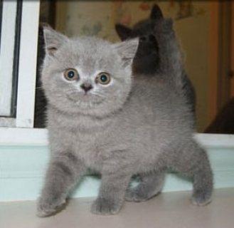 Exotic British Shorthair Kittens