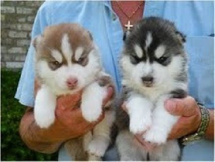 Sweet Siberian husky puppies for Free adoption