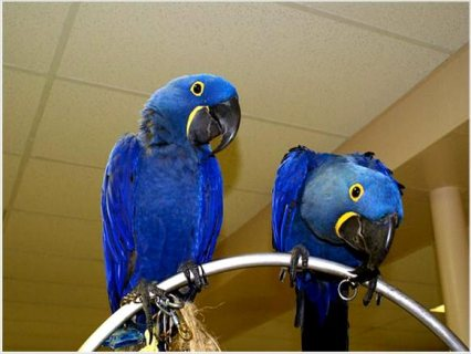 SWeet and Adorable Hyacinth Macaw baby parrots