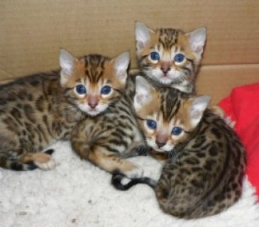 Cute and bengal kittens