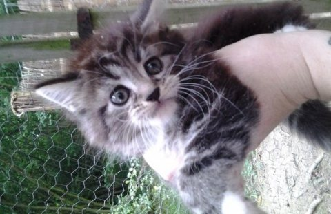 Adorable Maine Coon Kittens
