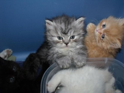 PERSIAN & HIMALAYAN KITTENS FOR ADOPTION