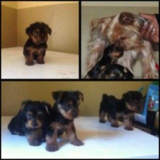 Well trained male and female Yorkie puppies  good for adoption