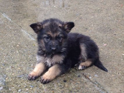 German Shepherd Male and Female  cute for adoption