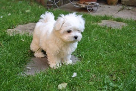 Registered Maltese puppies available For Adoption