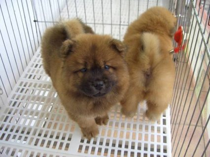 Beautiful Chows for adoption