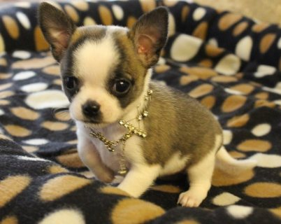 Two Chihuahua Puppies For Adoption
