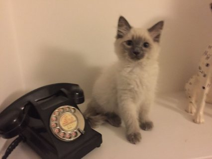 Home Raised Ragdoll Kittens For Adoption