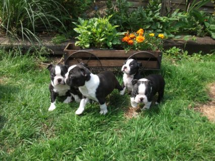These lovely and Beautiful Boston Terrier  puppies