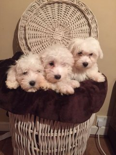 My Maltese puppy need someone that can love and take good care