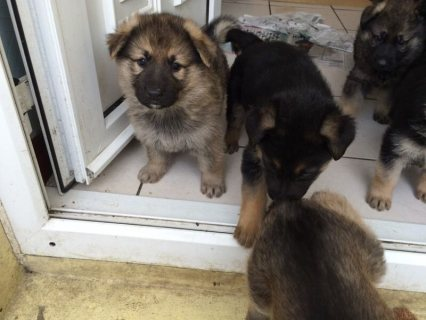 German Shepherd Male and Female  cute for adoption available
