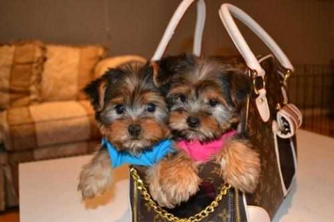 Affectionate Teacup Male and Female Yorkie puppies