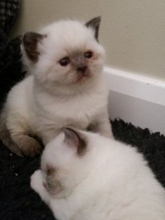 Healthy male and female ragdoll kittens available