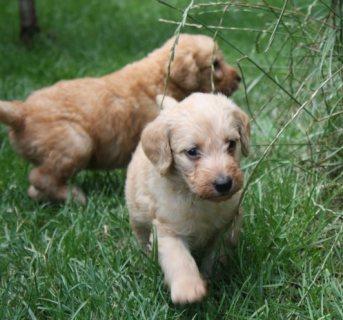 Gorgeous Golden Retriever Puppies For Sale.