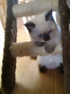 Healthy ragdoll Kittens For Adoptions