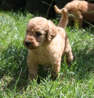 Amazing Golden Retriever Up For Sale.
