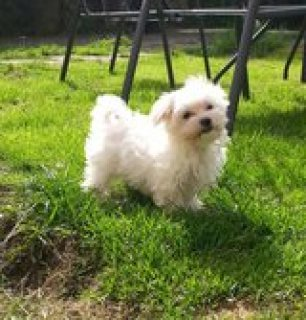 Adorable female maltese available for rehoming