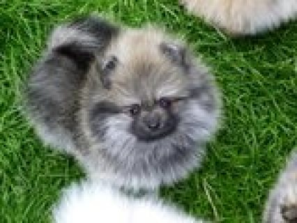 Beautiful pure breed pedigree pomeranian boy for re homing
