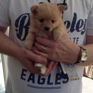 We have available cute Pomeranian puppies