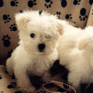2 minature bichon frise puppies