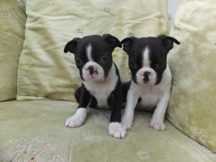 Kc Registered Boston Terrier Puppies For Sale