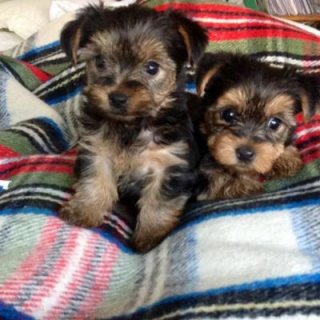 Orimiri AKC Tiny Tea Cup Yorkie puppies