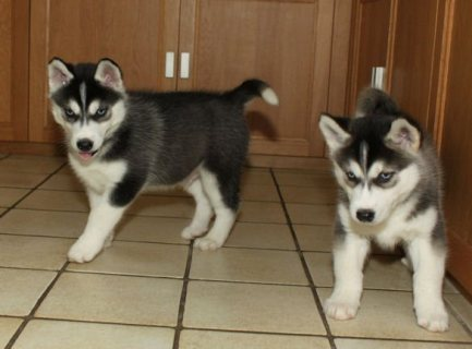 Two Siberian Husky Puppies for Adoption
