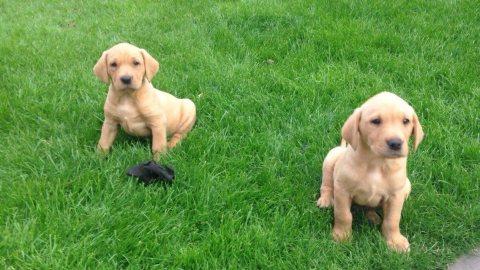 Wonderful Labrador  for Adoption