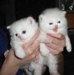 White Persian Kittens for adoption