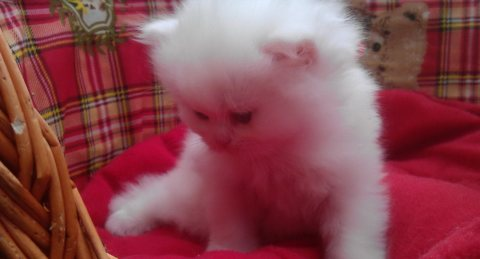 Cute Persian Kittens Currently Available for Adoption